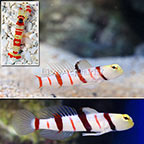Dracula Goby (Bonded Pair) with Red Banded Pistol Shrimp [Blemish] (click for more detail)