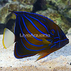 Annularis Angelfish Adult (click for more detail)