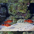 Flame Cardinalfish (Trio) (click for more detail)