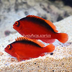 Flame Hawkfish (Bonded Pair) (click for more detail)