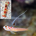 Yasha Goby Male with Red Banded Pistol Shrimp (click for more detail)