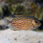 Biota Tank Raised Golden Lined Rabbitfish (click for more detail)