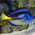 African Yellow Belly Blue Tang (click for more detail)