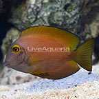 Squaretail Bristletooth Tang [Blemish] (click for more detail)