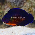 Fijian Ultra Coral Beauty Angelfish (click for more detail)