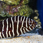Zebra Eel  (click for more detail)