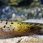 Fimbriated Moray Eel (click for more detail)