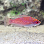 Eightline Flasher Wrasse Female (click for more detail)