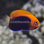 Mauritius Flameback Angelfish  (click for more detail)