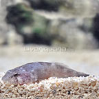 Caribbean Red Clingfish (click for more detail)