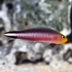 Double Striped Dottyback (click for more detail)