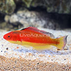 Melanesian Hooded Wrasse Terminal Phase Male (click for more detail)