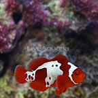 ORA® Captive-Bred Gold X Lightning Maroon Clownfish (click for more detail)
