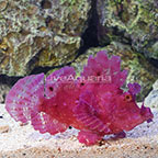 Eschmeyer's Scorpionfish Purple (click for more detail)
