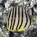 Eightband Butterflyfish [Expert Only] (click for more detail)