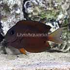 Two Spot Bristletooth Tang (click for more detail)