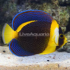 Scribbled Angelfish Female [Blemish] (click for more detail)