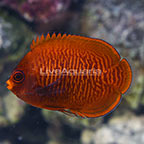 Golden Angelfish  (click for more detail)