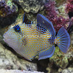 Blueline Triggerfish [Blemish] (click for more detail)