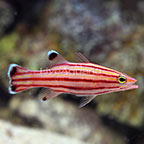 Caribbean Swissguard Basslet (click for more detail)