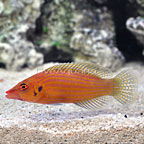 Mauritius Dispilus Earspot Wrasse  (click for more detail)