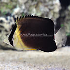 Mauritius Blackburn's Butterflyfish (click for more detail)