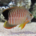 Tail-Less Eibli Angelfish  (click for more detail)