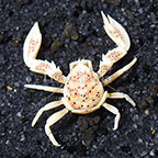 Porcelain Anemone Crab  (click for more detail)