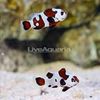 ORA® Captive-Bred Black Storm Clownfish (Select Pair) (click for more detail)