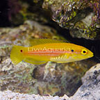 Yellow Candy Hogfish  (click for more detail)