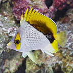 Declivis Butterflyfish (click for more detail)