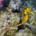 Captive-Bred Brazilian Longsnout Yellow Seahorse Male (click for more detail)