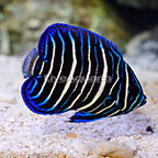 Blue Face Angelfish Juvenile (click for more detail)