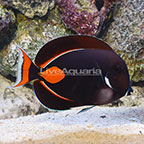 Achilles Tang Adult EXPERT ONLY (click for more detail)