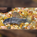 Queen Arabesque (L-260) Plecostomus (click for more detail)
