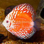 Red Pigeon Blood Discus (click for more detail)
