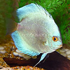 Blue Diamond Discus (click for more detail)