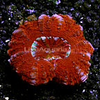 Aussie Mini Scolymia Coral  (click for more detail)
