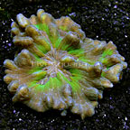 Spiny Pectinia Coral Indonesia  (click for more detail)