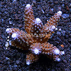 Aussie Branching Acropora Coral (click for more detail)