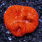 Aussie Acan Brain Coral (click for more detail)