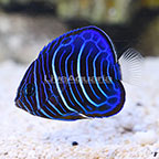 Annularis Angelfish Juvenile (click for more detail)