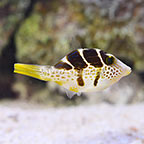 Fijian Mimic Saddle Puffer (click for more detail)