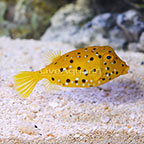 Cubicus Trunkfish EXPERT ONLY (click for more detail)