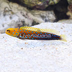 Blue Spotted Jawfish  (click for more detail)