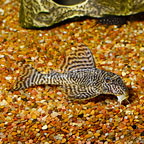 King Tiger (L-66) Plecostomus  (click for more detail)