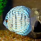 Cobalt Discus (click for more detail)