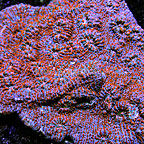 Aussie Chalice Coral  (click for more detail)