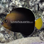 Blue Spotted Angelfish Adult (click for more detail)