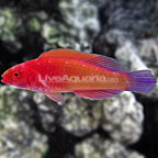 Red Velvet Fairy Wrasse Initial Phase (click for more detail)